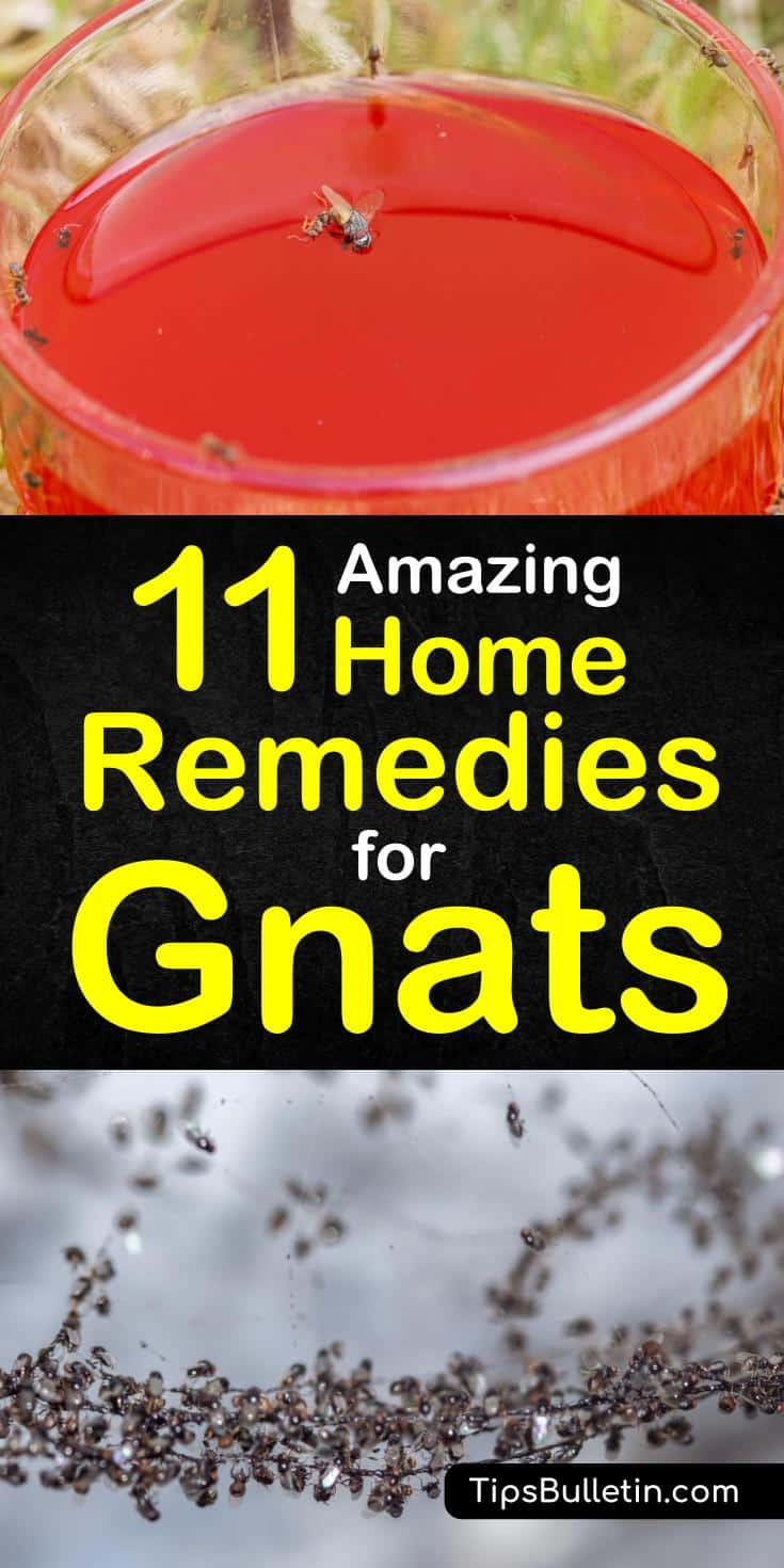 Discover 11 amazing home remedies for getting rid of gnats and fruit flies. If you have a swarm of gnats flying around your house plants, you can use simple, every day ingredients, like baking soda, essential oils and cider vinegar to kill and repel gnats. #killgnats #diyflytraps #getridofgnats