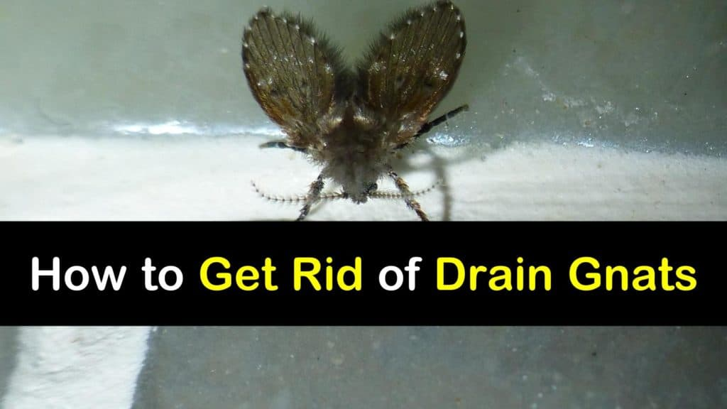 How To Get Rid Of Drain Gnats