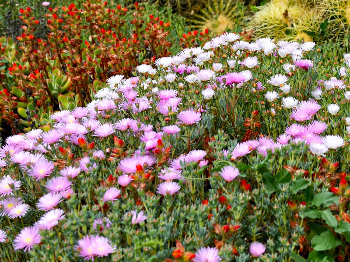 ice plants prefer dry climates