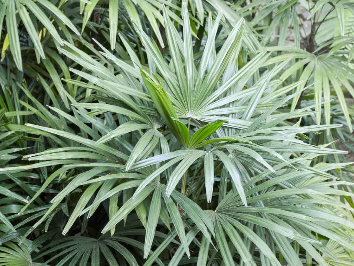 lady palm can grow to 14 feet