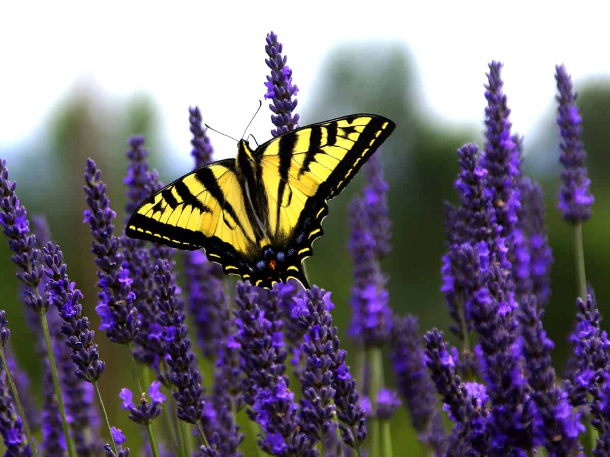 lavender attracts pollinators