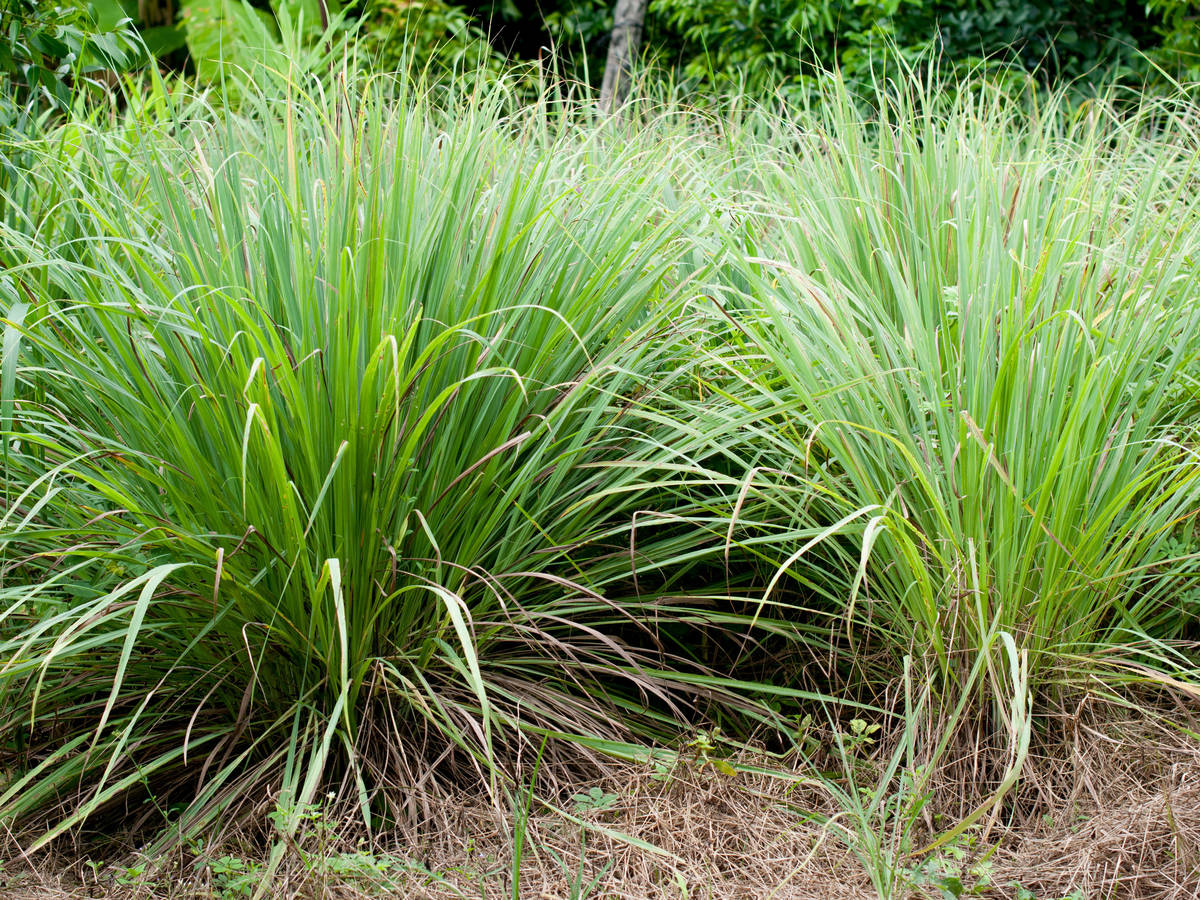 lemongrass tastes like citrus - great for repelling mosquitoes