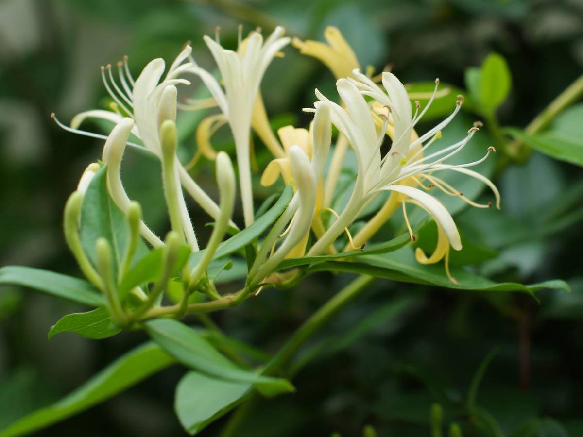 lonicera japonica honeysuckle thrives outside