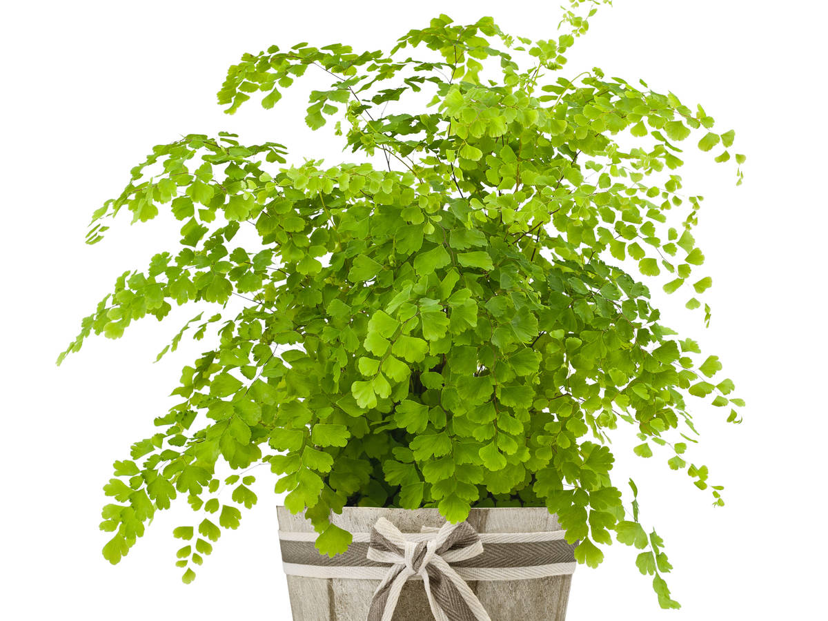 maidenhair fern is easy to grow