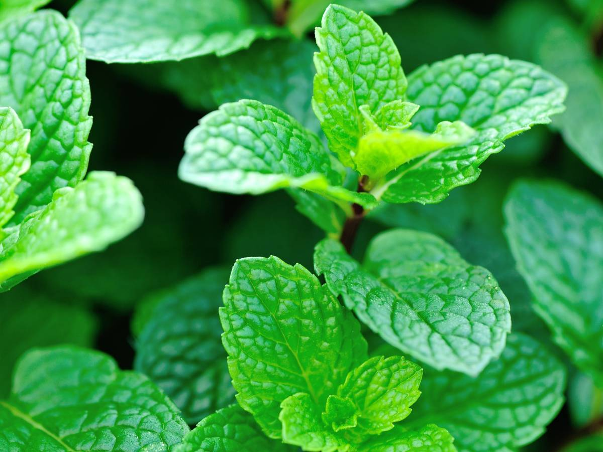 mint leaves offer tantalizing aromas