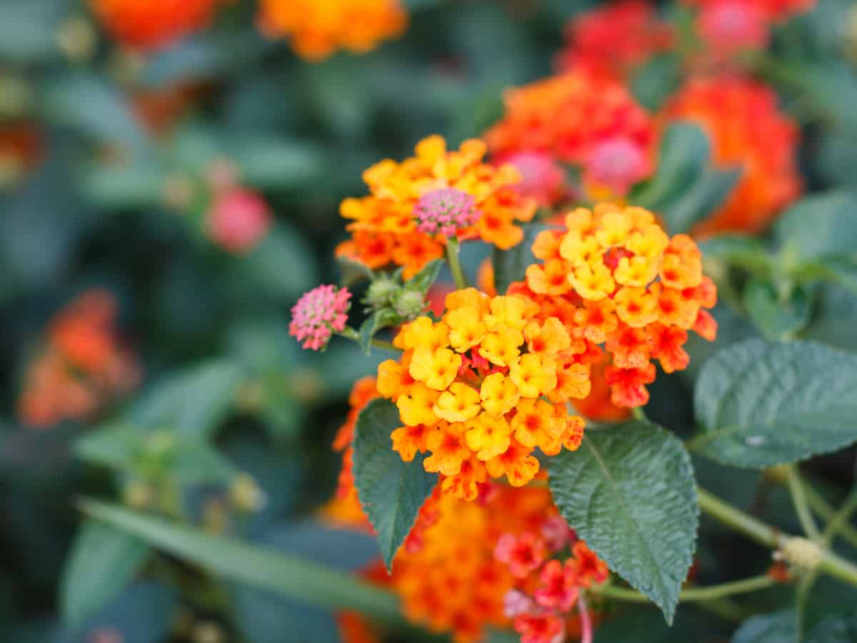 yellow, red and orange lantana blossoms