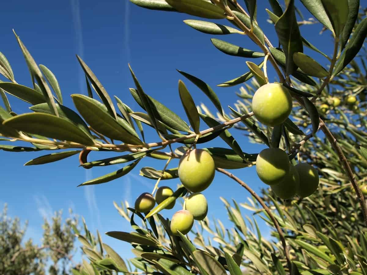 grow olives in a container