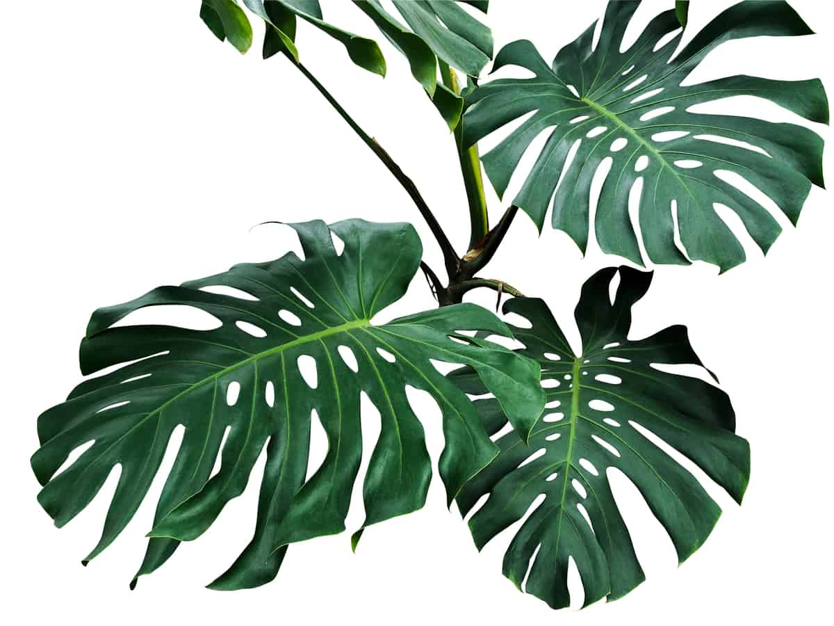 philodendron comes in many varieties