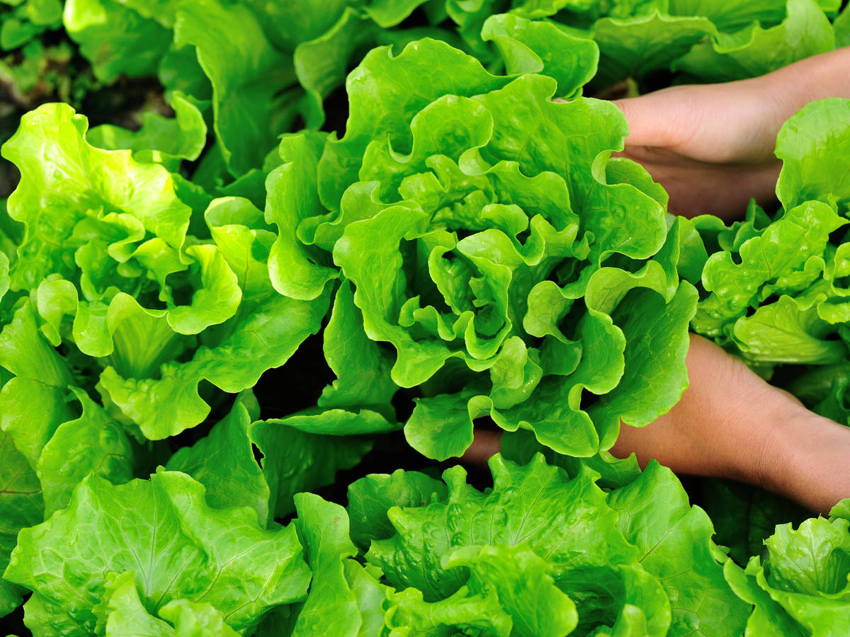 pick lettuce from a container