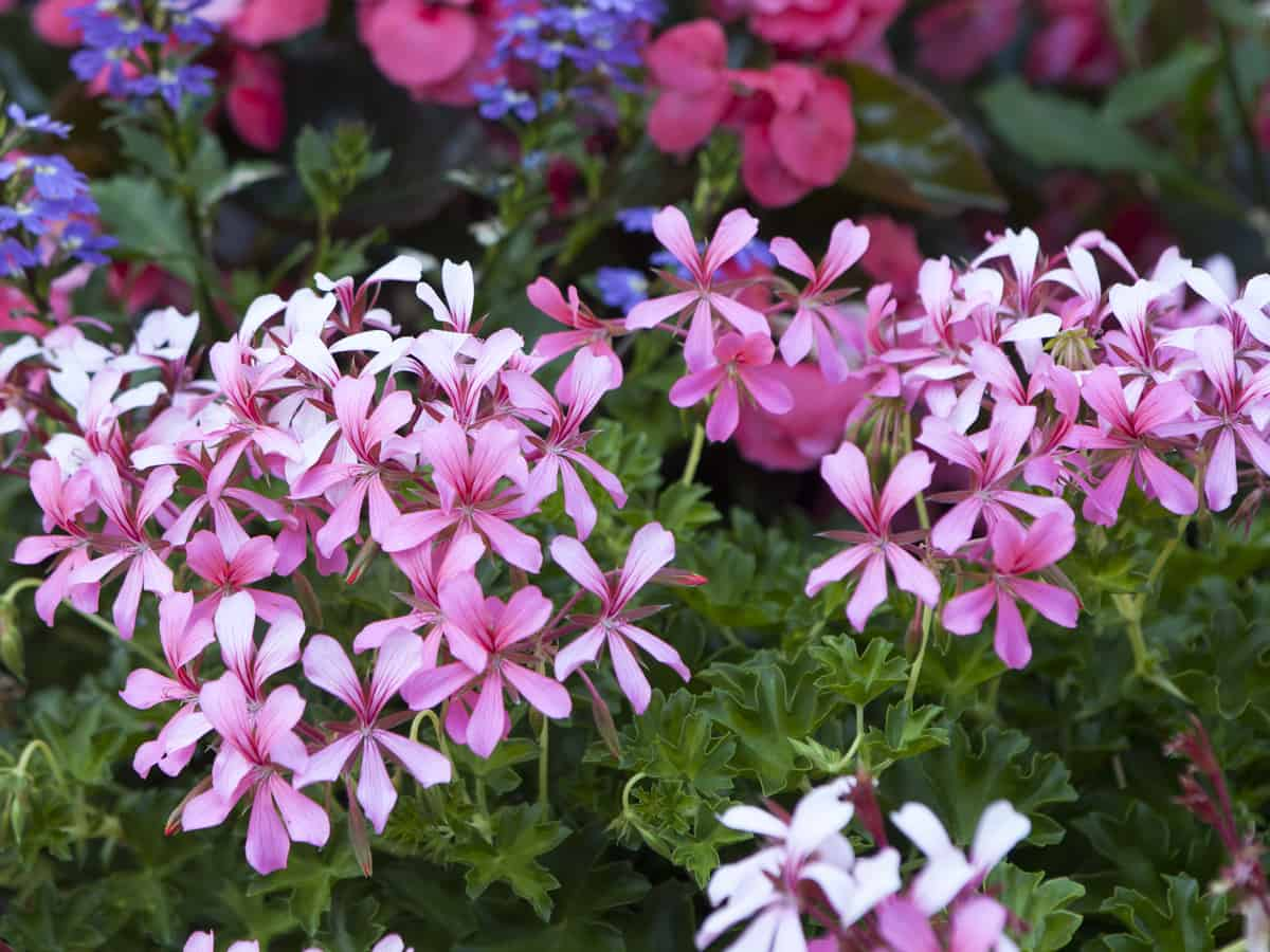 creeping phlox adds to the landscape