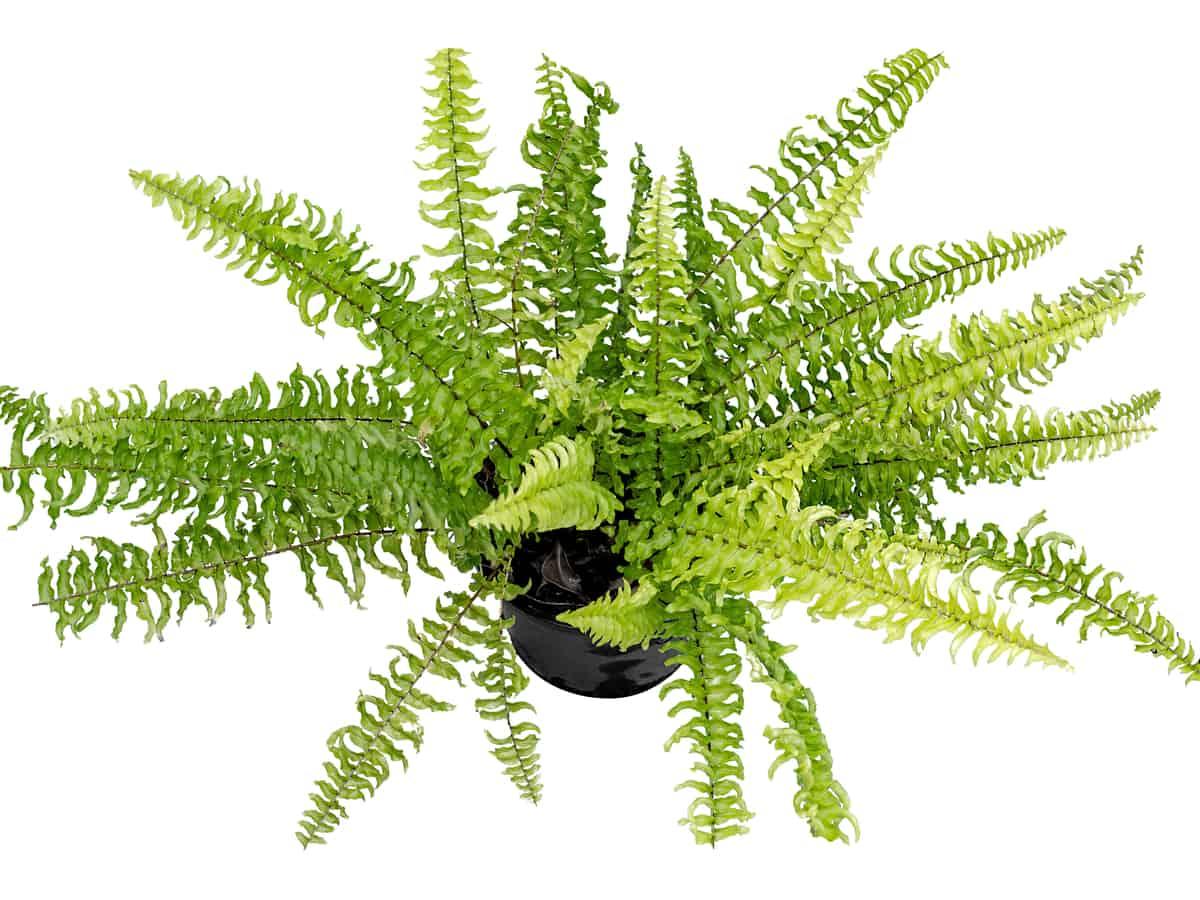 Boston fern in a pot