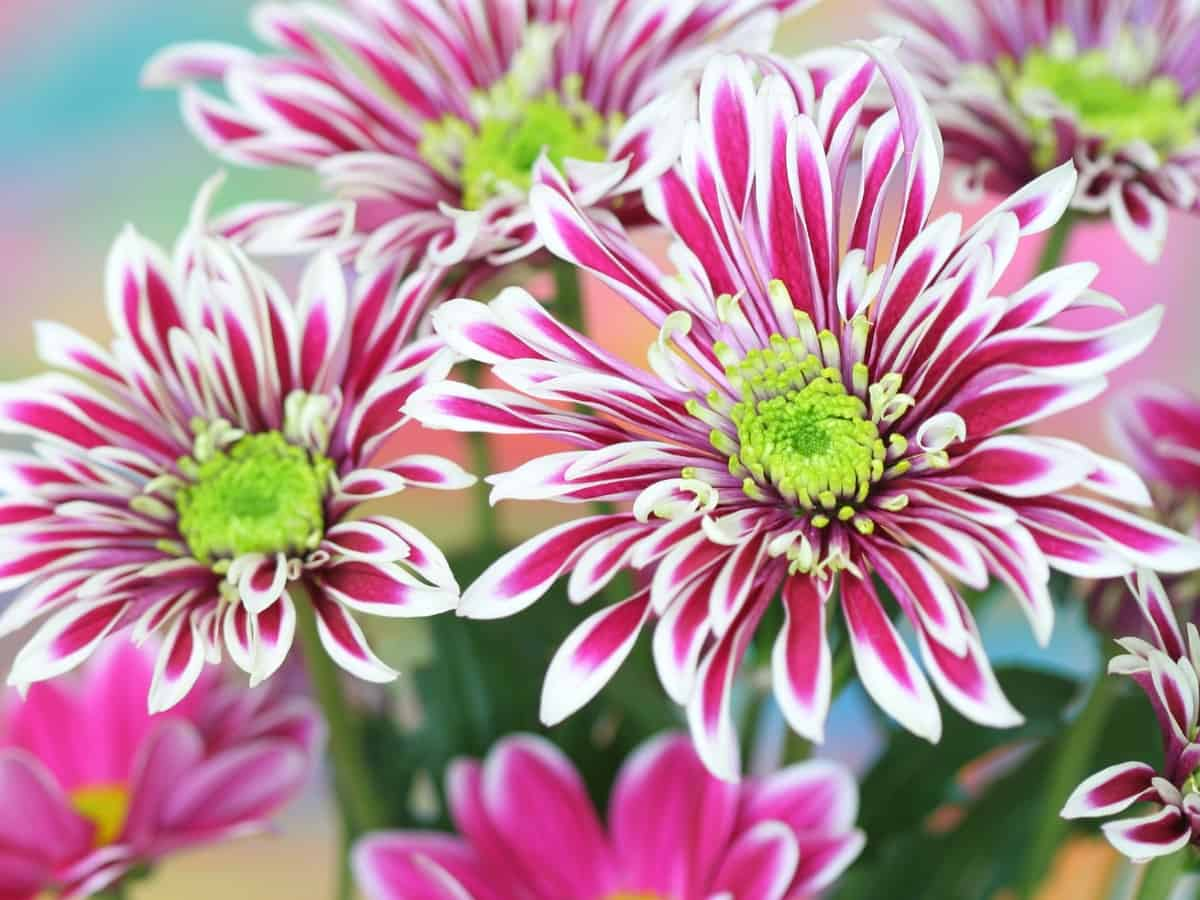chrysanthemums repel flies