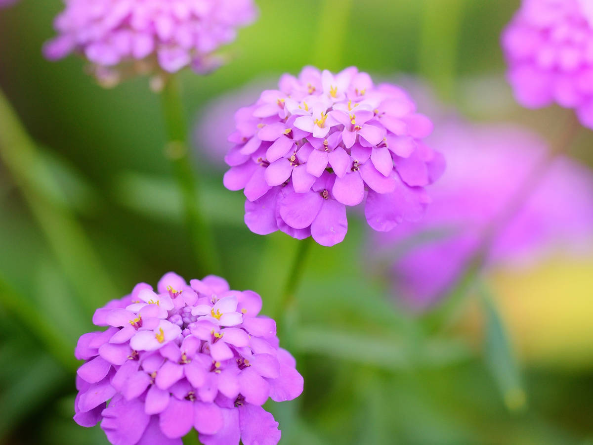 candytuft is easy to grow