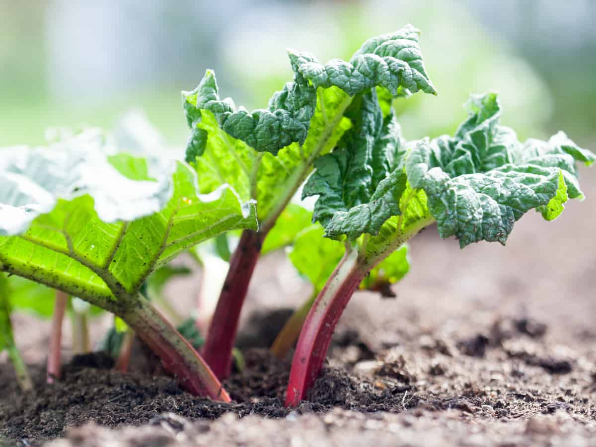 rhubarb the easy to grow container vegetable