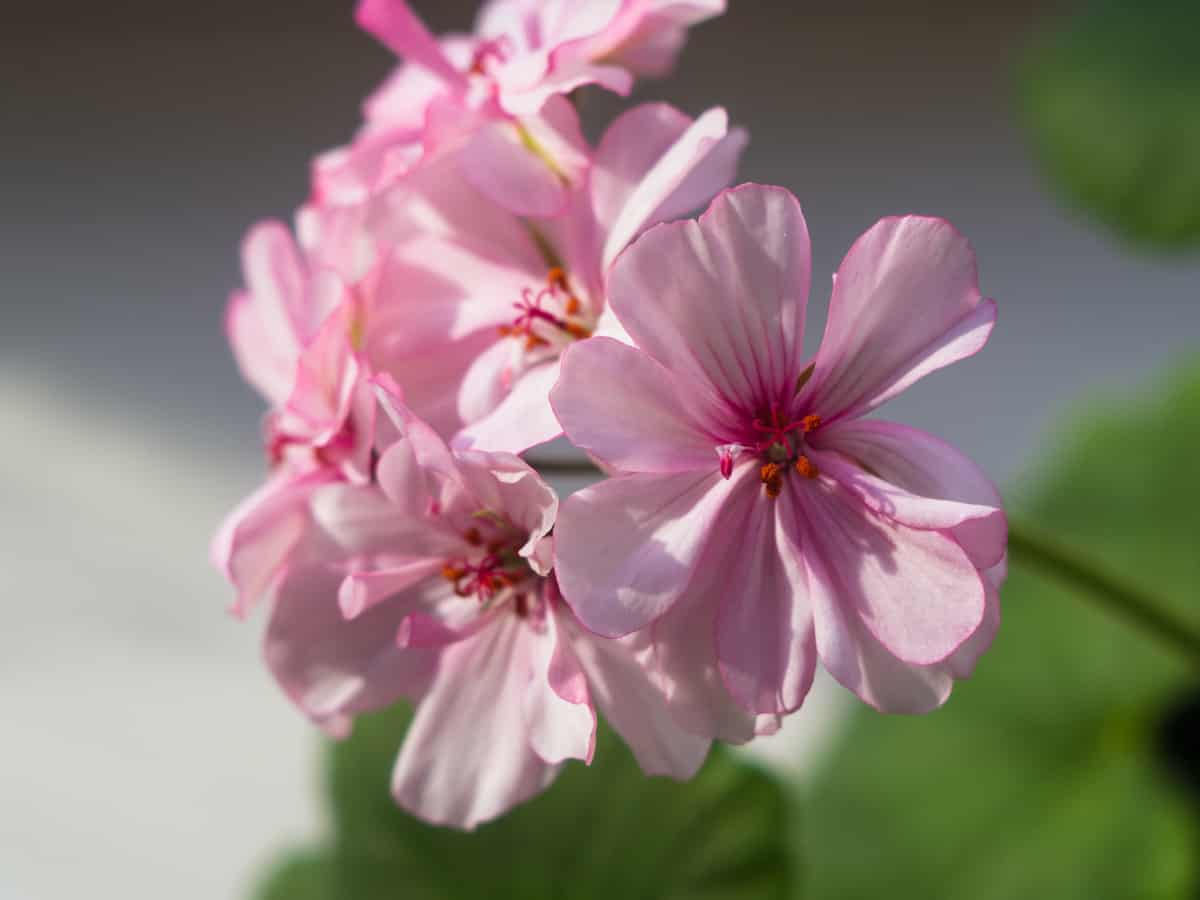 geranium leaves provide the sweet smell