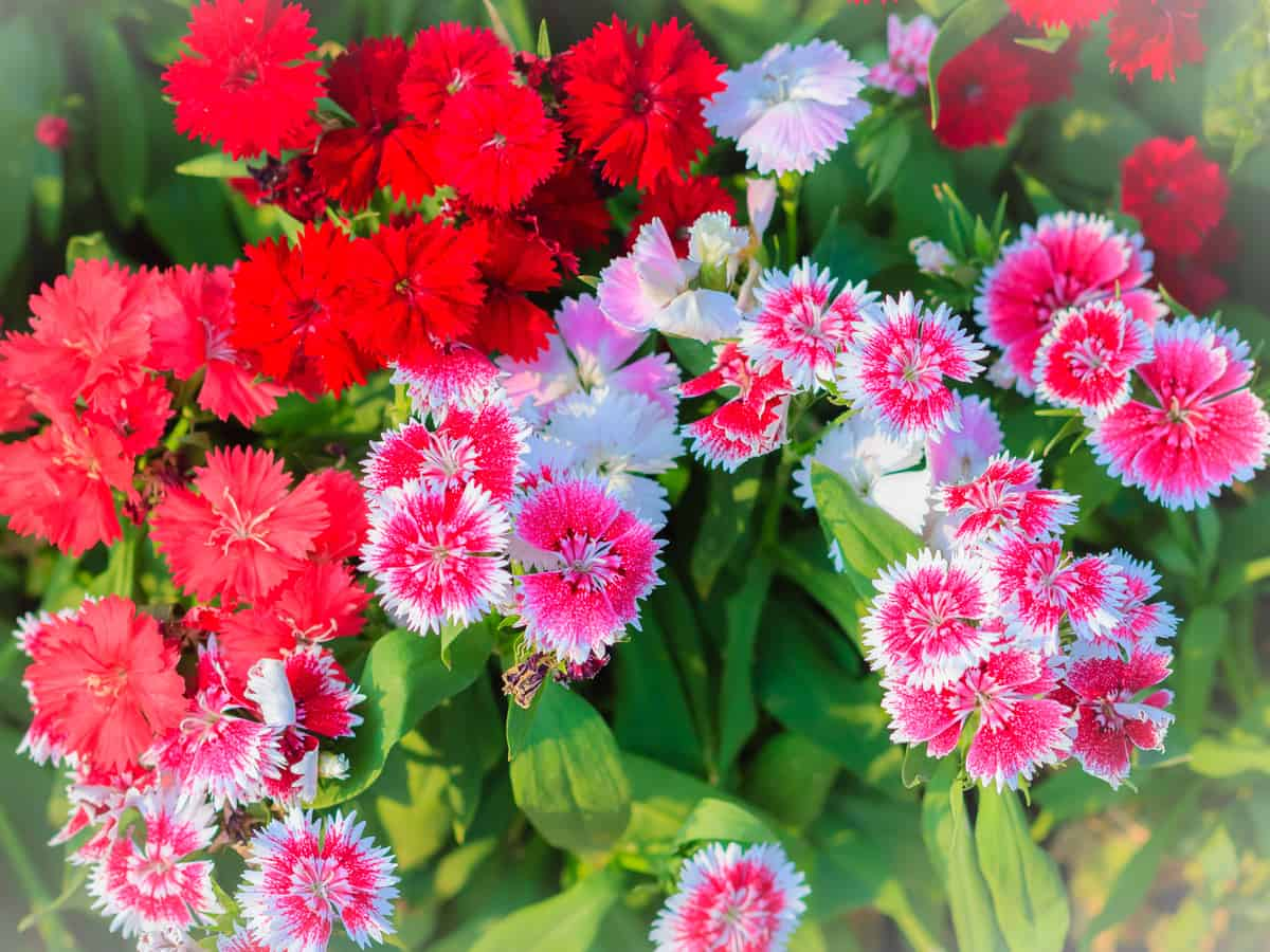 dianthus smells like spicy vanilla