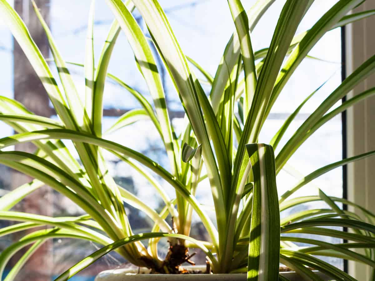 spider plant helps you sleep like a baby