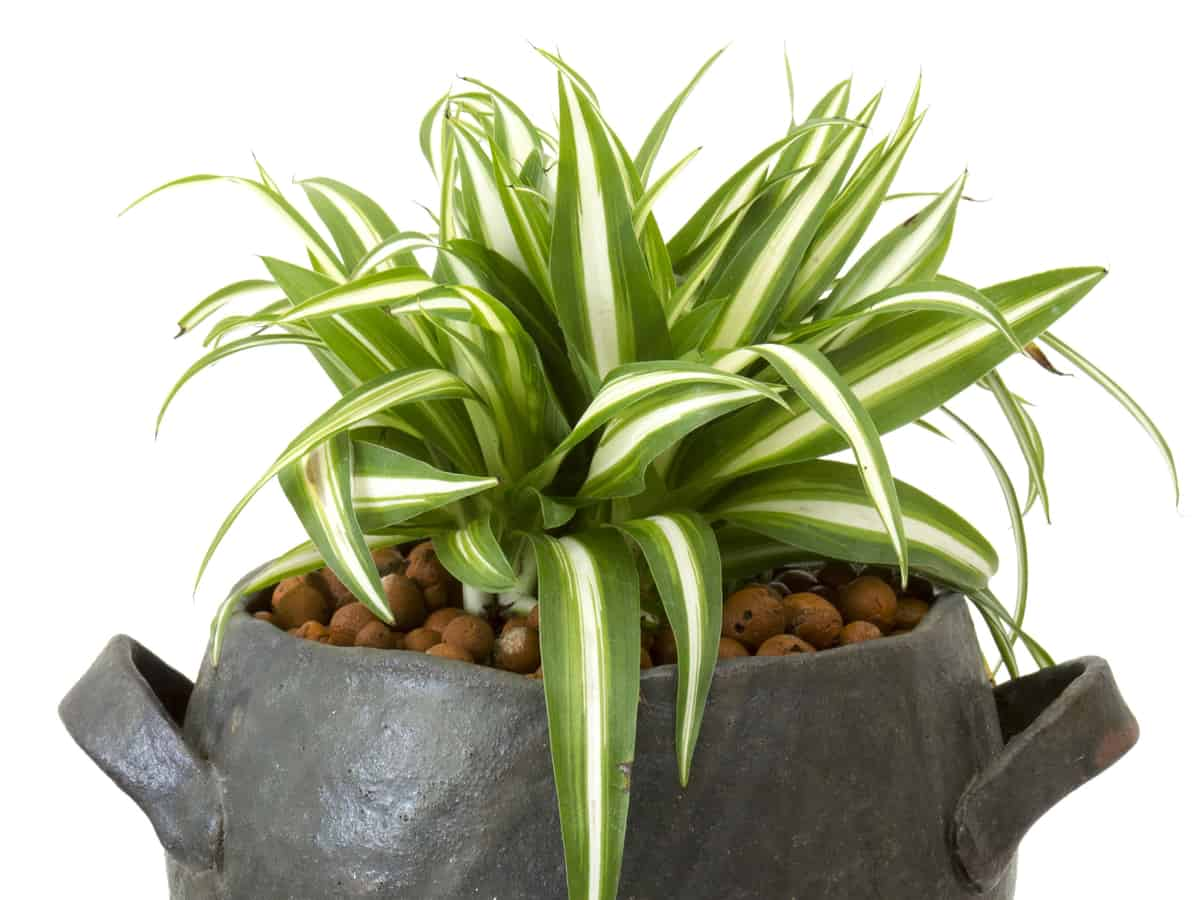 spider plants are great in containers