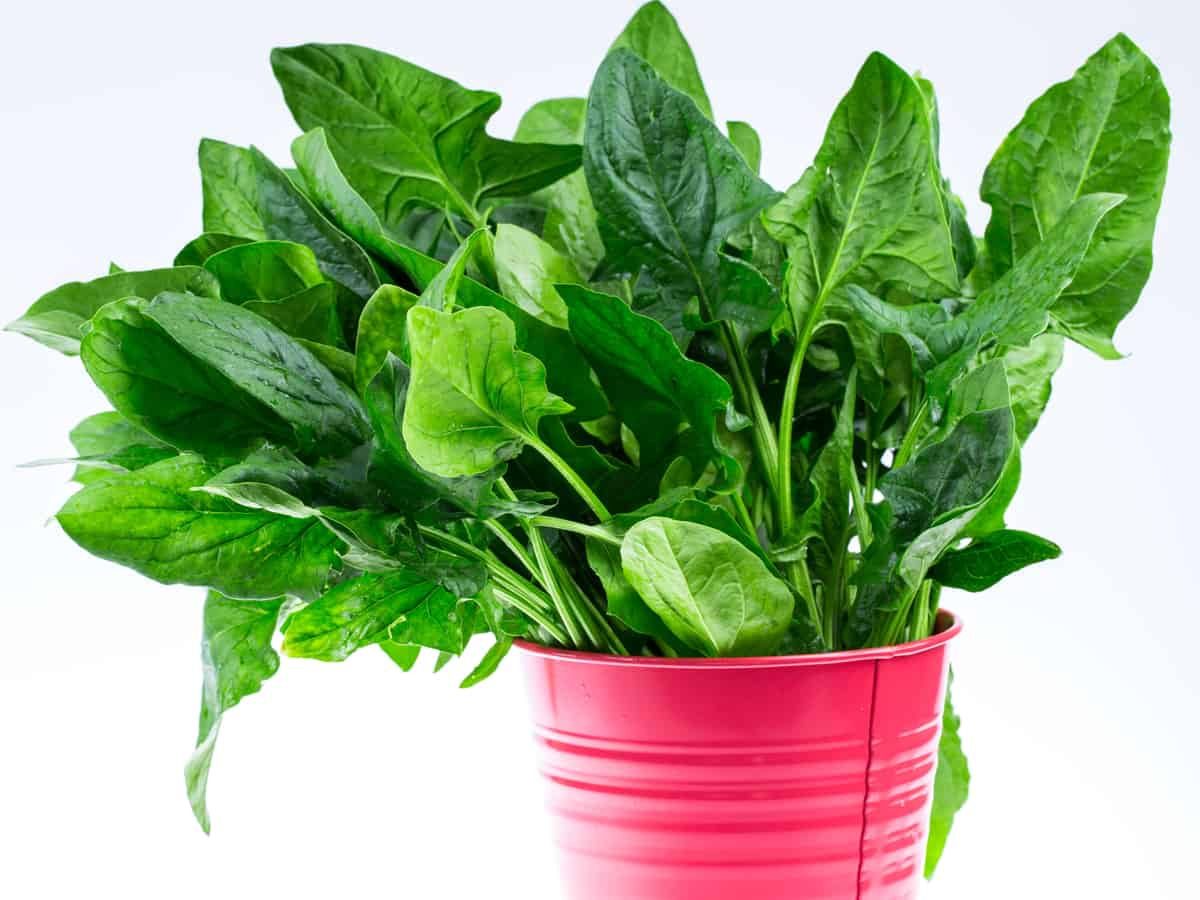 potted spinach