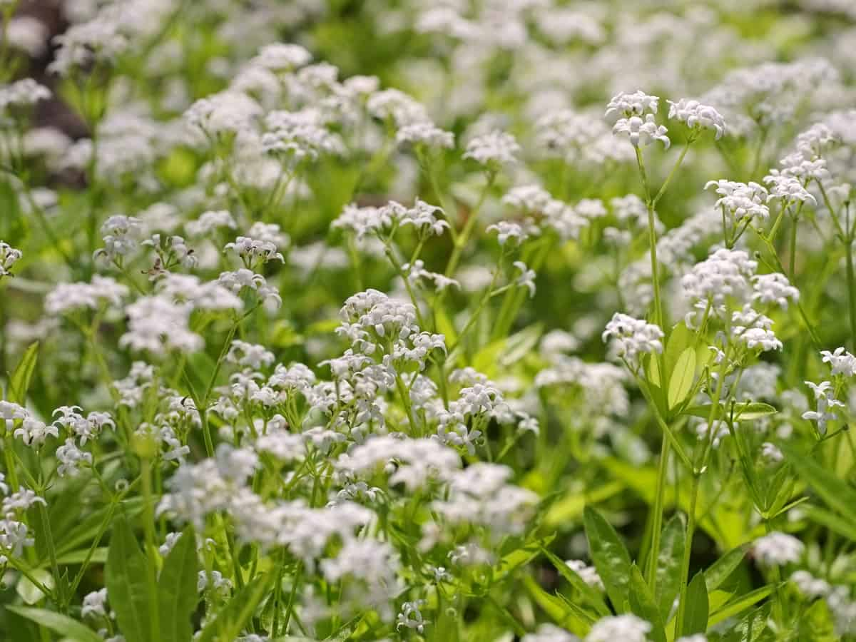 sweet Woodruff as a ground cover flower