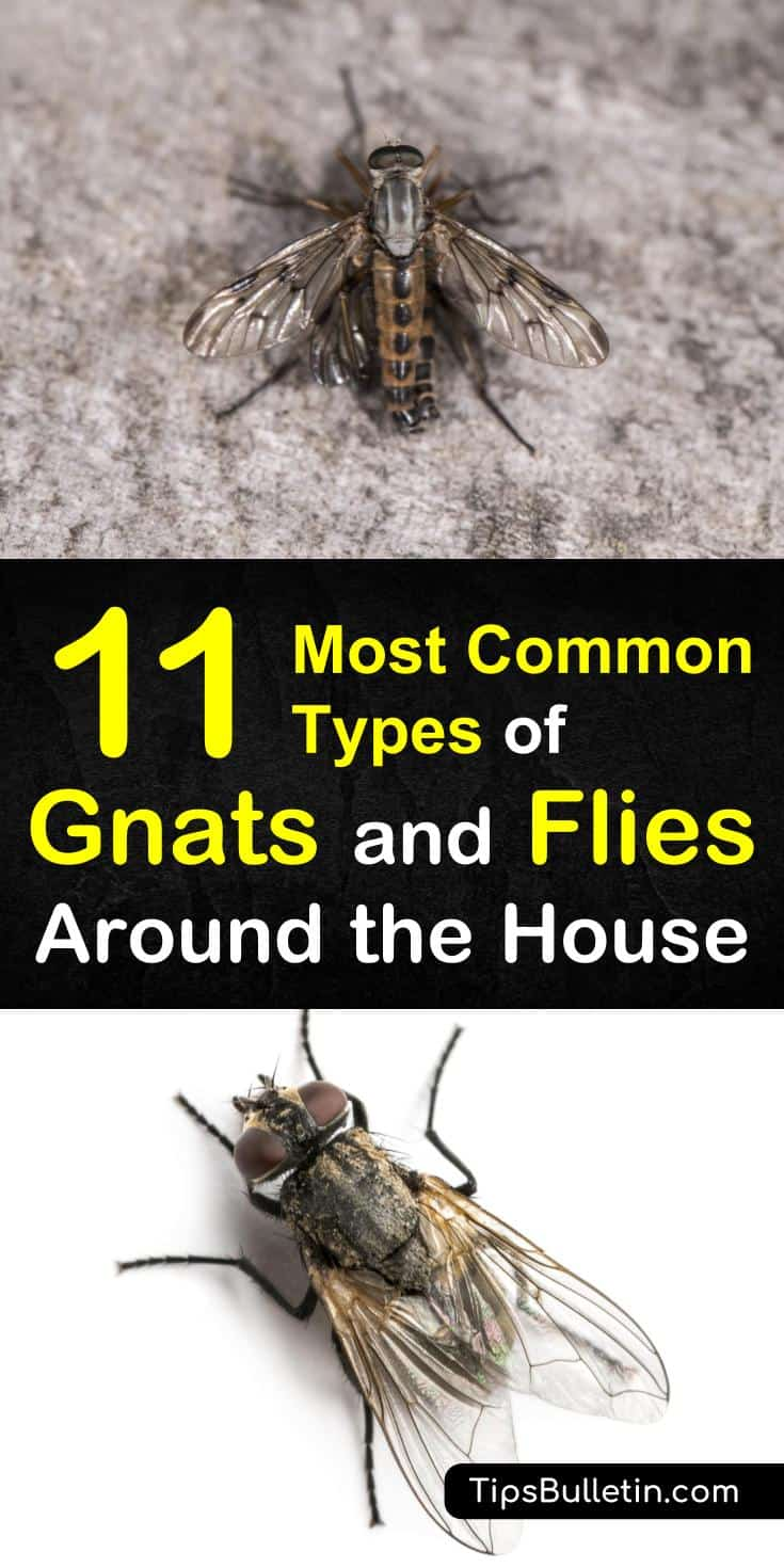 11 Most Common Types Of Gnats And Flies Around The House