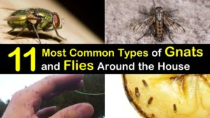 11 Most Common Types of Gnats and Flies Around the House titleimg1