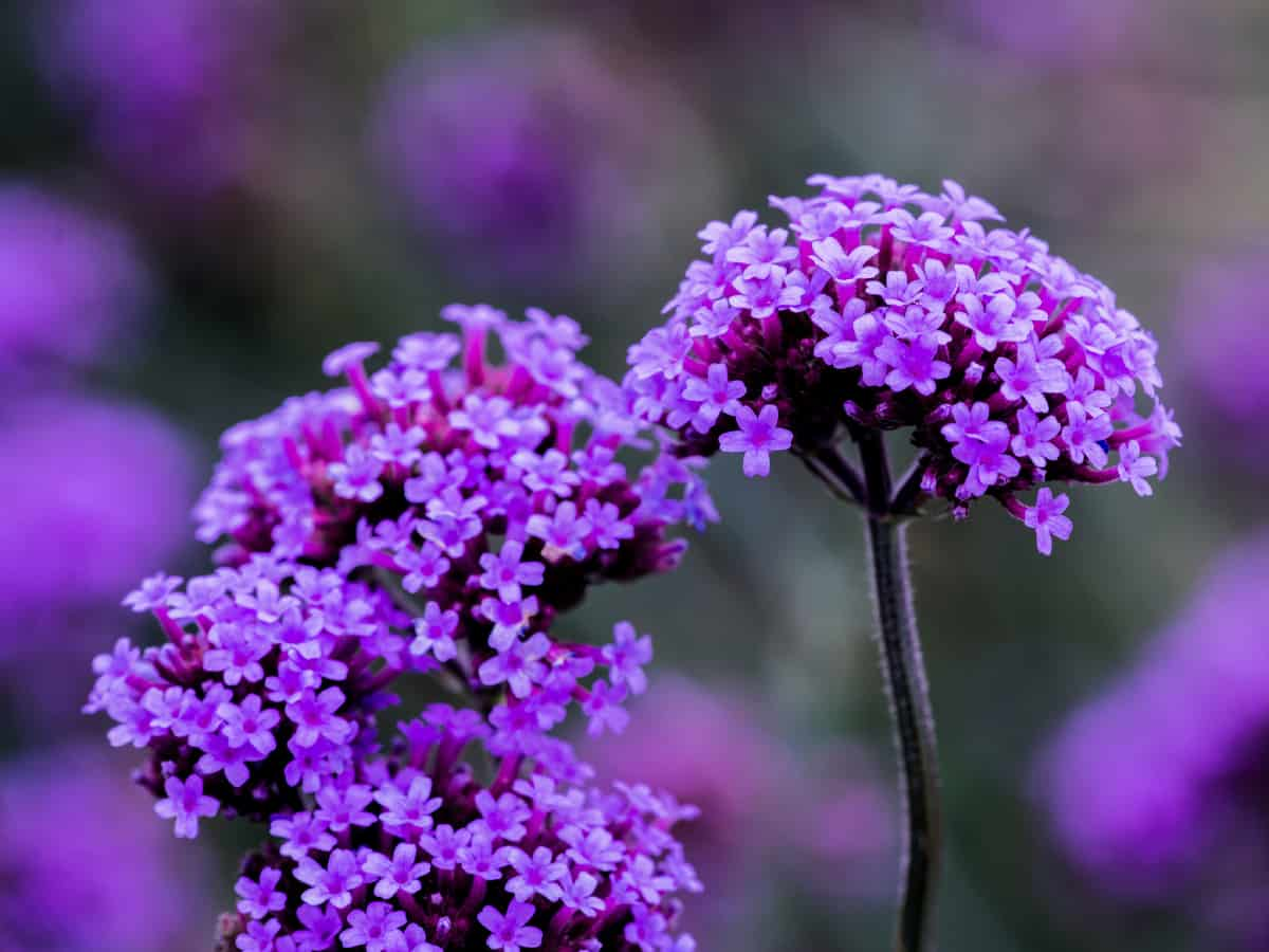 easy to grow vervain or verbena