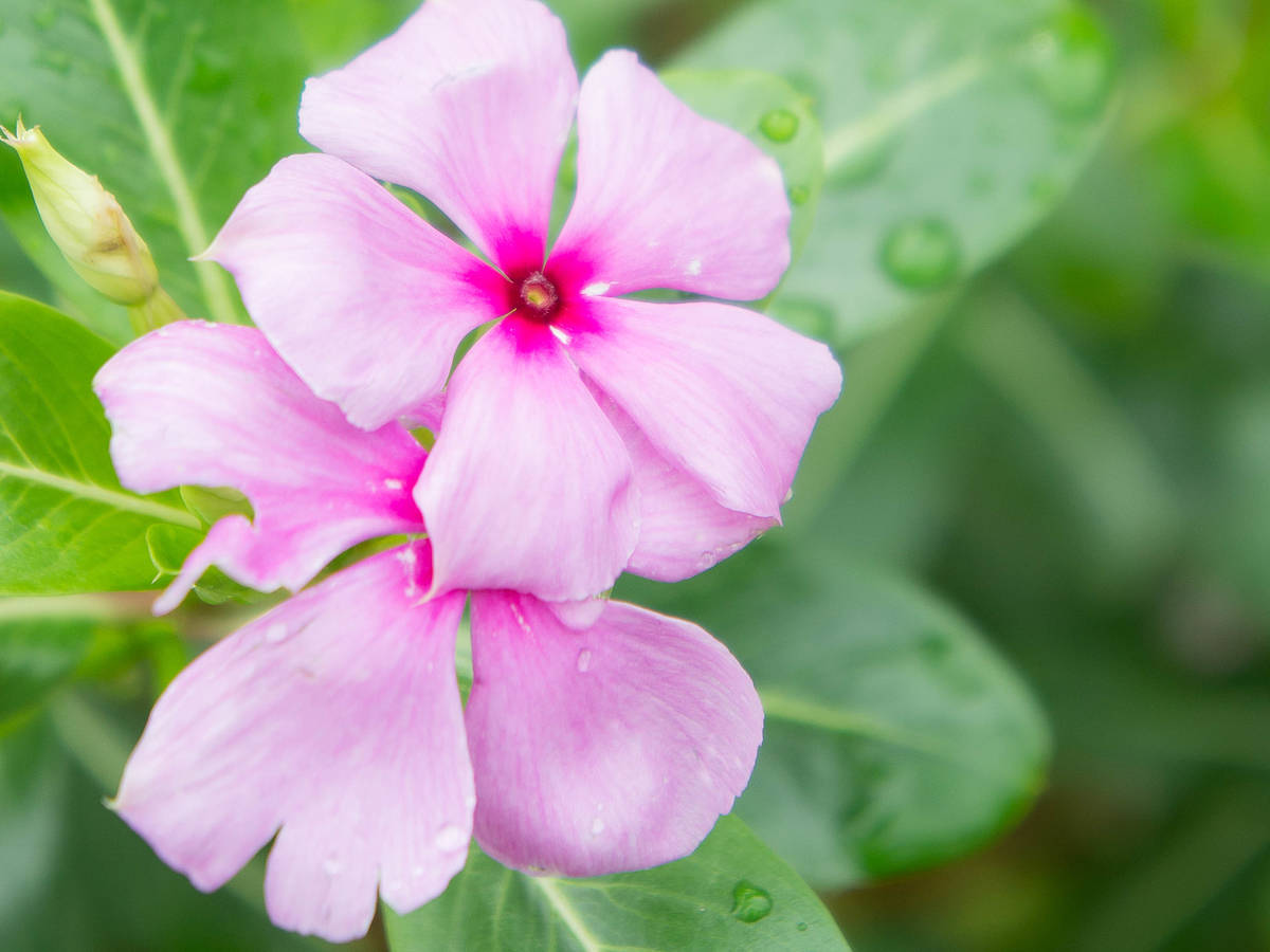 periwinkle or vinca is a good ground cover flower