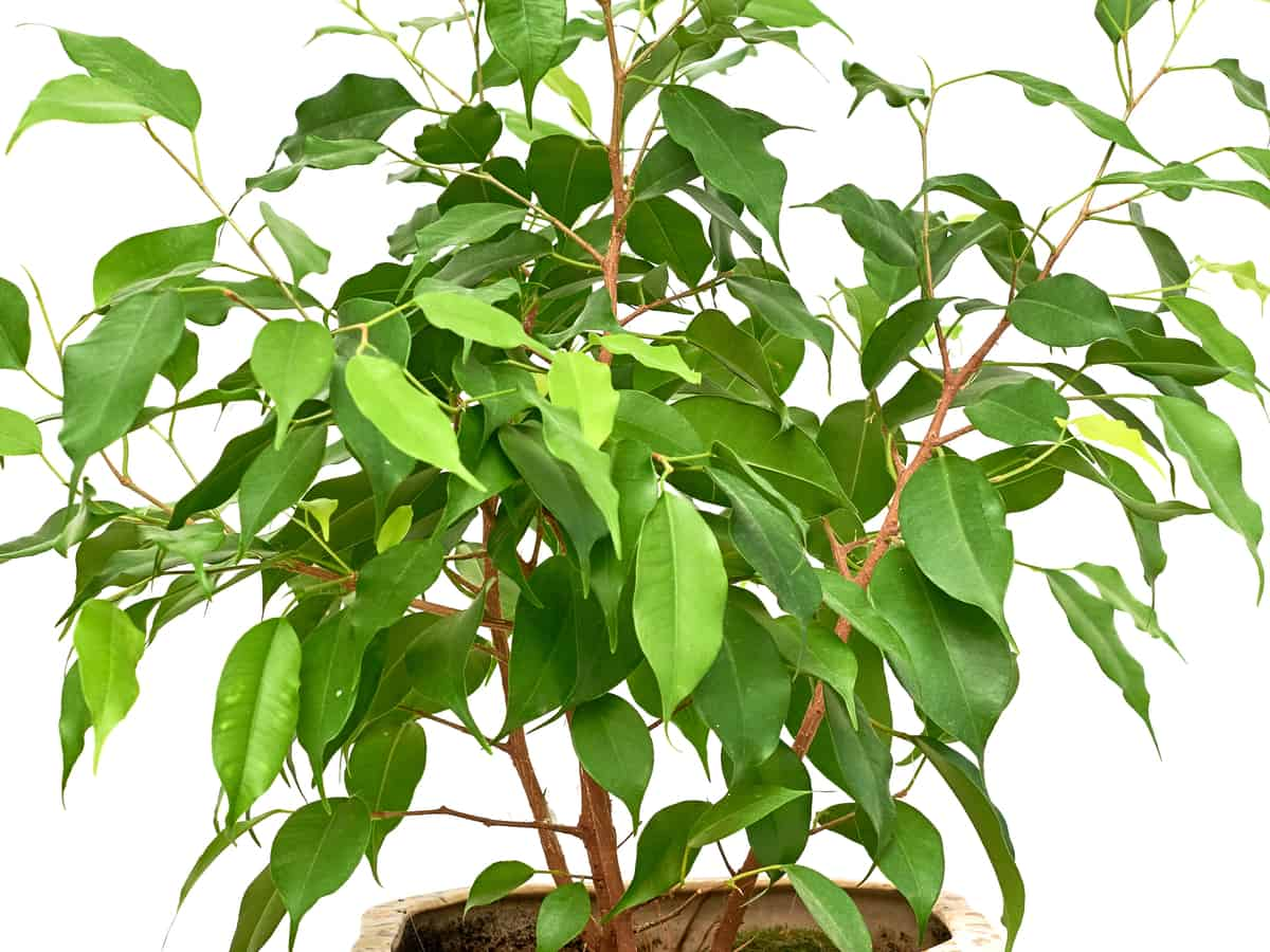 weeping fig is a popular plant