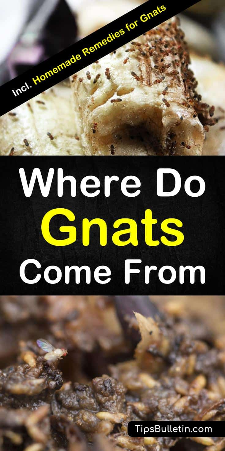 Learn what causes gnat infestations and where to find their most common breeding and food sources. Learn how to eliminate gnats in plants and how to trap gnats with homemade gnat traps and repellents. #gnats #gnatscomefrom #killgnats