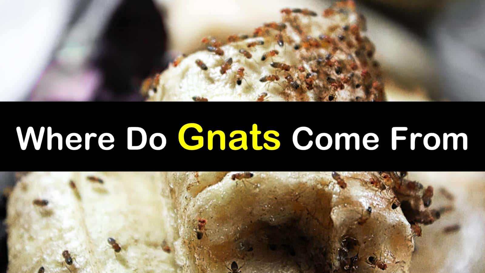 where do gnats come from titlimg1