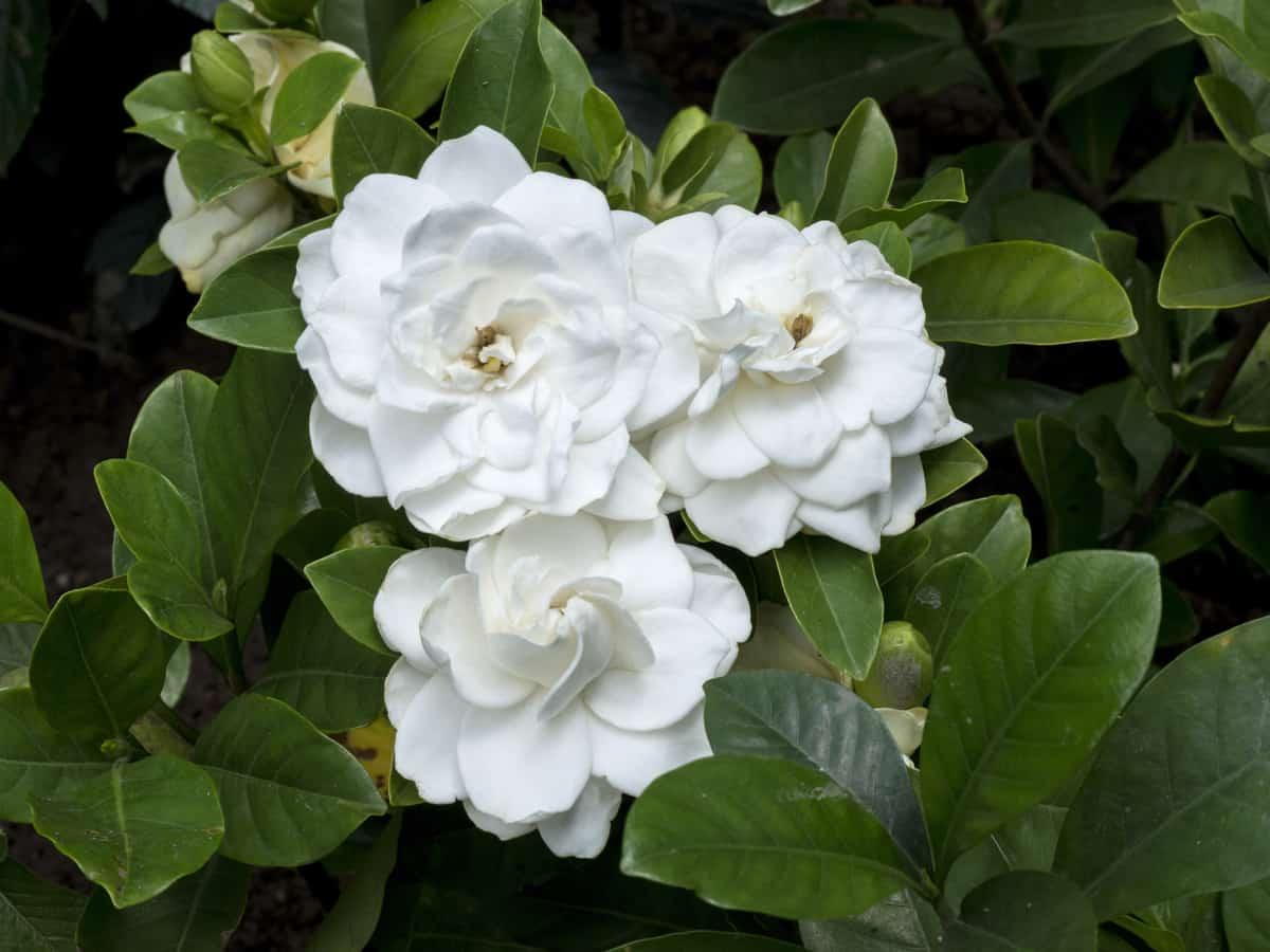 gardenia aroma is hard to mistake