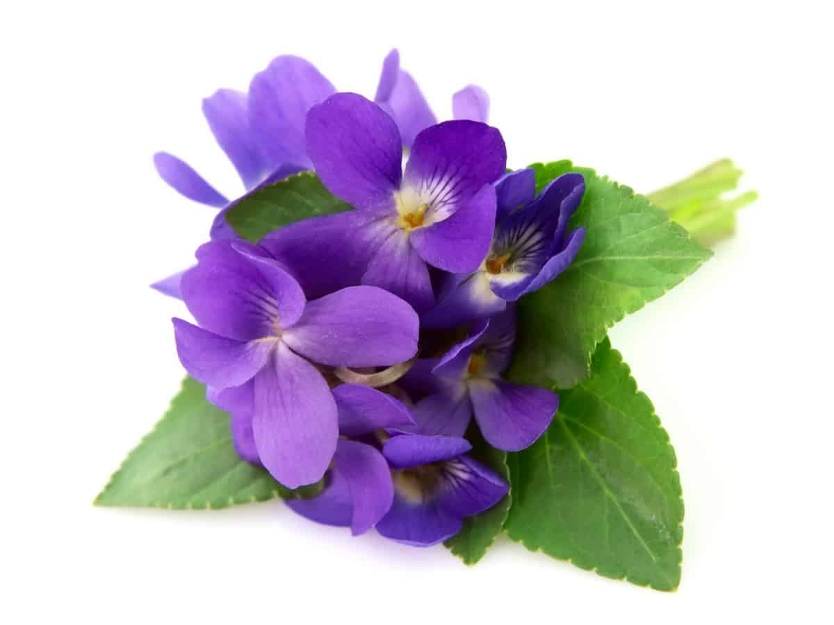 wild violet is the perfect ground flower