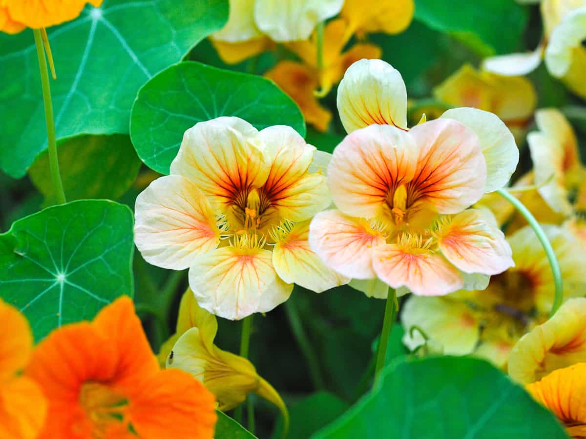 beautiful nasturtiums in the garden