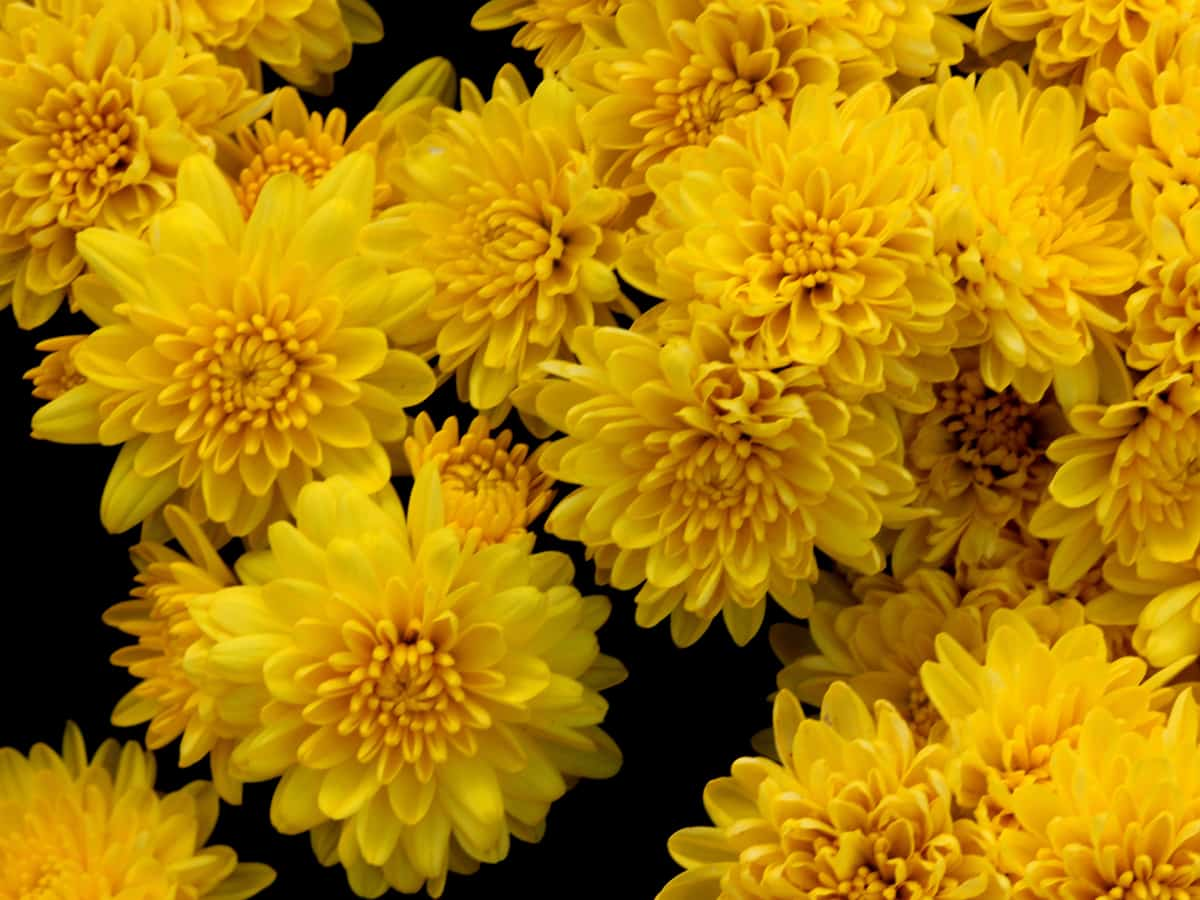 chrysanthemums are a natural pesticide