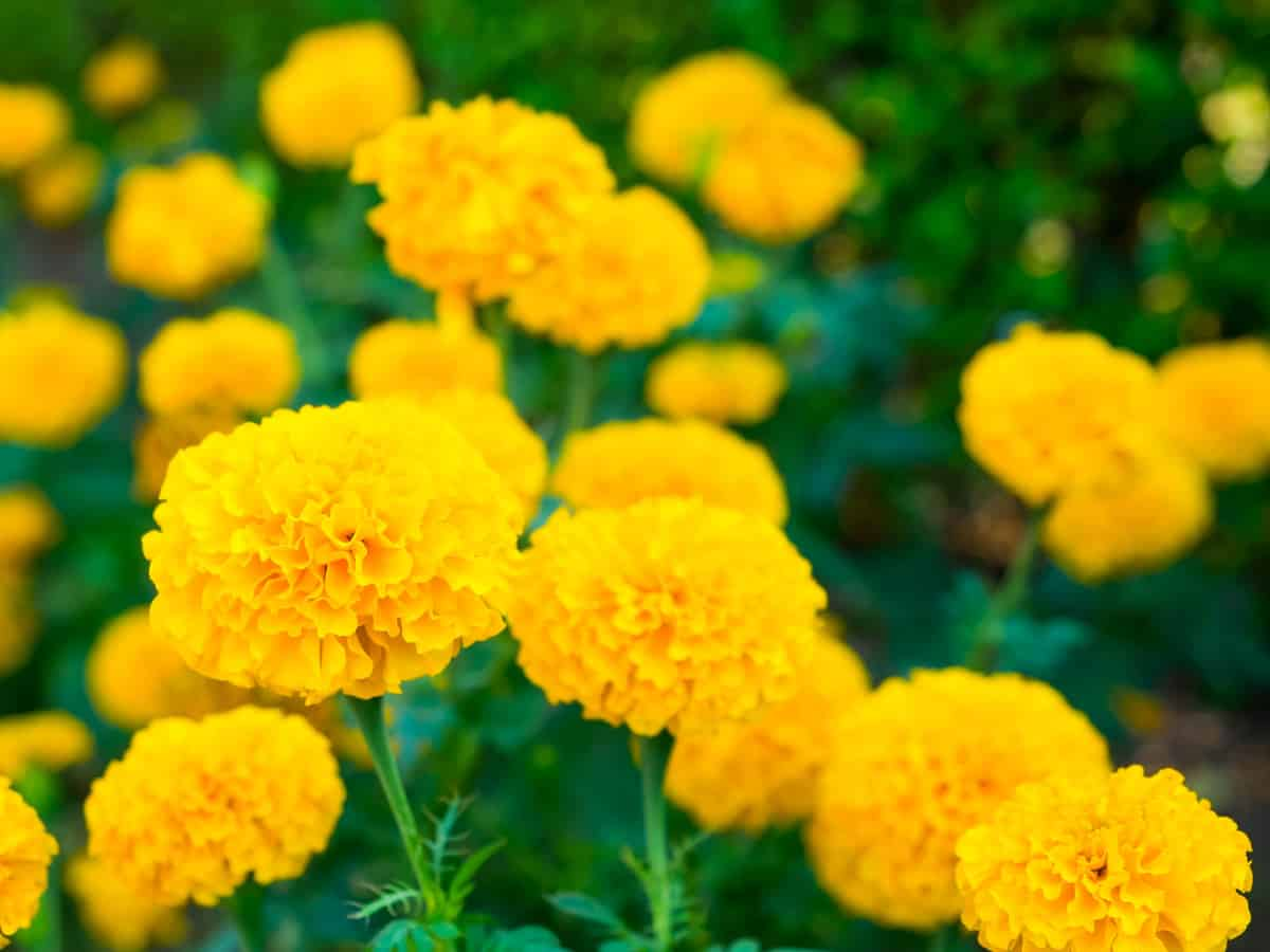 marigolds repel insects