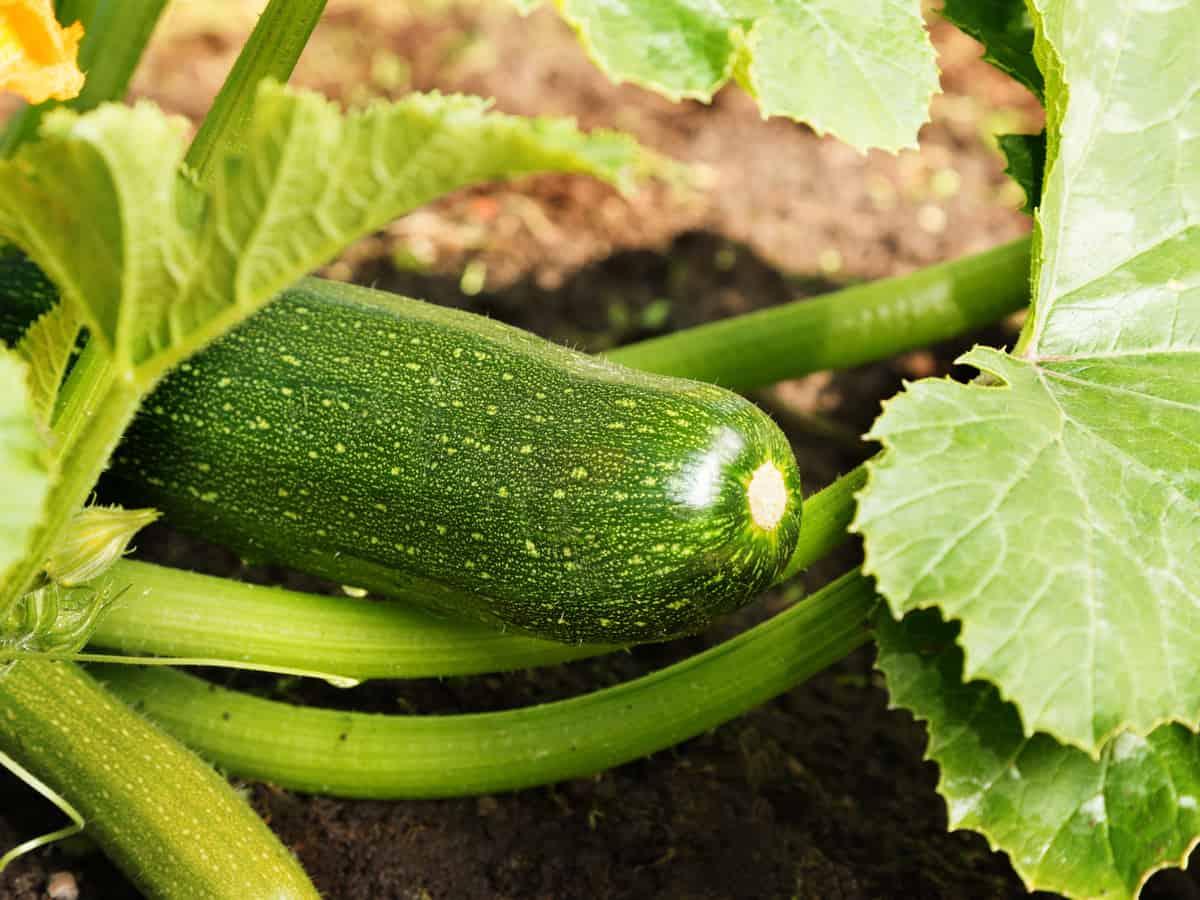 hidden zucchini squash in garden