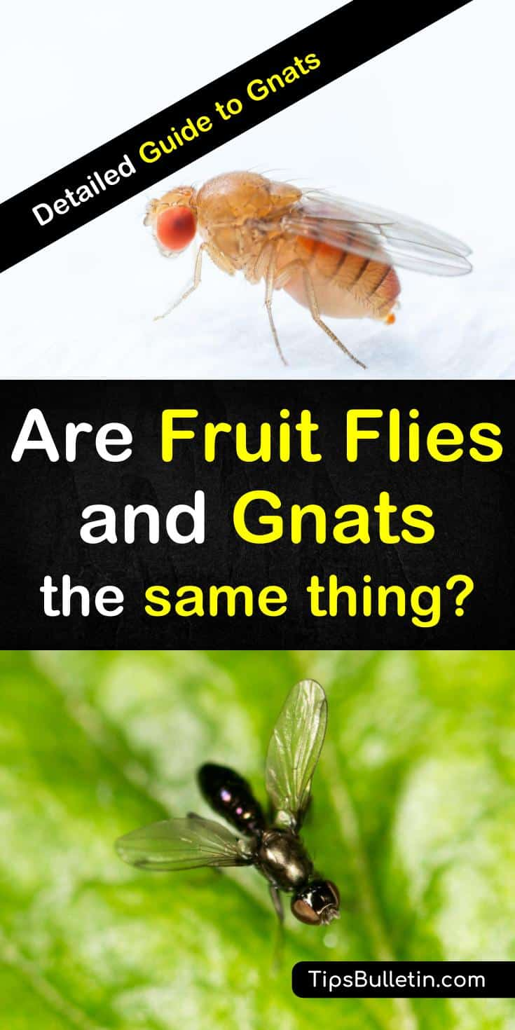 Learn the differences between fruit flies and gnats so you can employ the right method to get rid of these insects from your kitchen for good. Find out how to make a fly trap that will effectively rid your home of soil gnats and fruit flies. #fruitfliesvsgnats #killfruitflies #getridofgnats