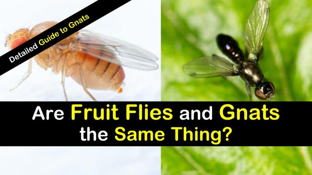 Fruit Flies vs  Gnats - Are Fruit Flies and Gnats the Same Thing?