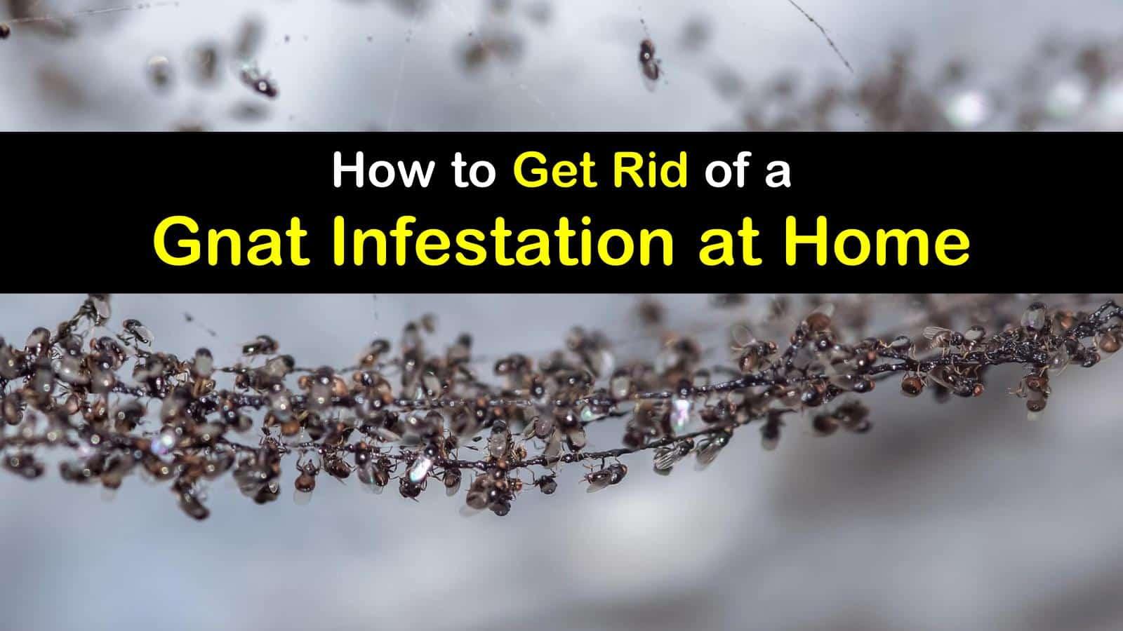 gnat infestation titleimg1