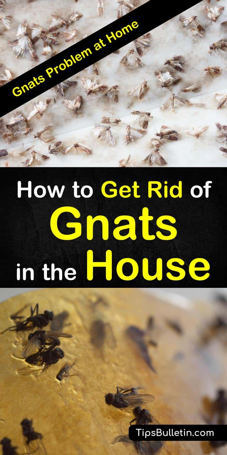 Learn how to use, everyday items to get rid of gnats in the house. Discover how to quickly get rid of fruit flies and gnats from your kitchen with essential oils, and other DIY fly traps. #gnatsathome #killgnats #house