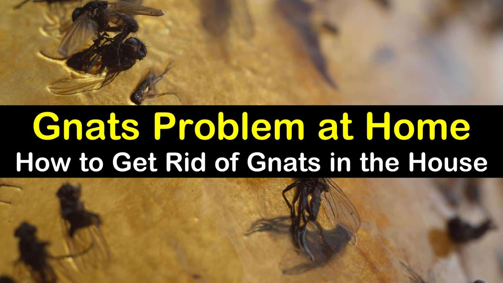 titleimg1 how to get rid of gnats in house