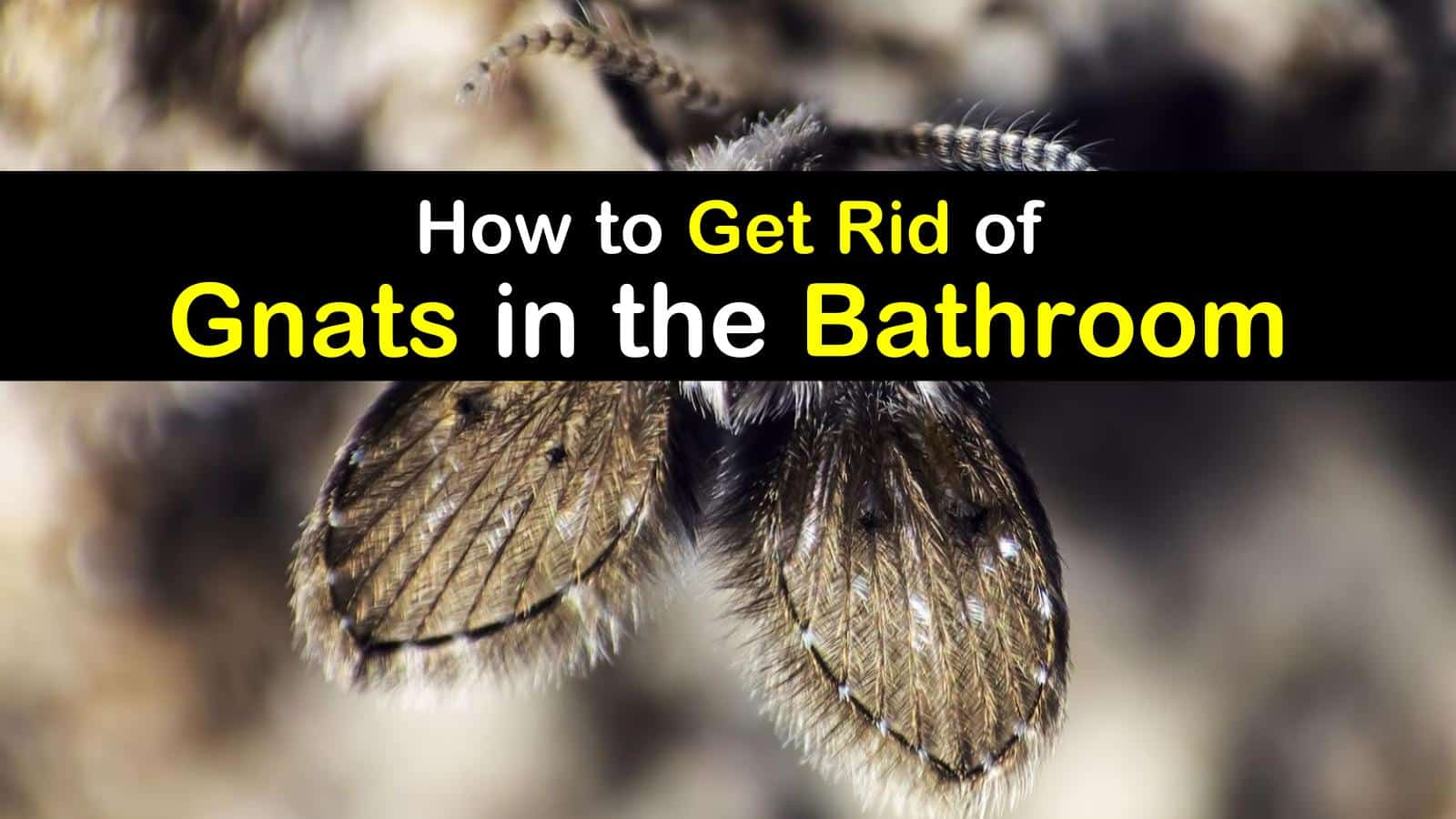 Bathroom Gnats Infestation How To Get Rid Of Gnats In The