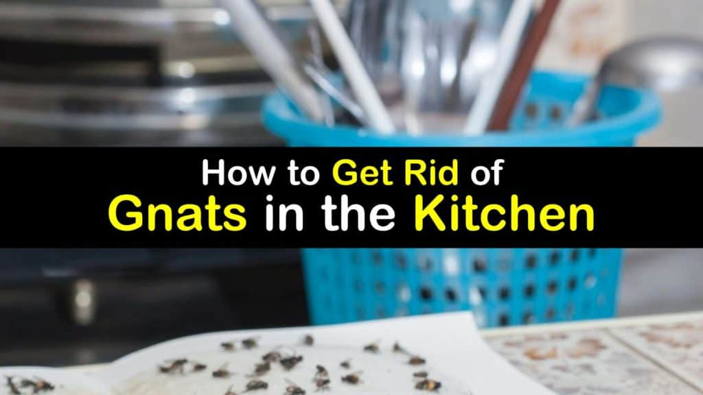 Fly Problem - How to Get Rid of Gnats in the Kitchen