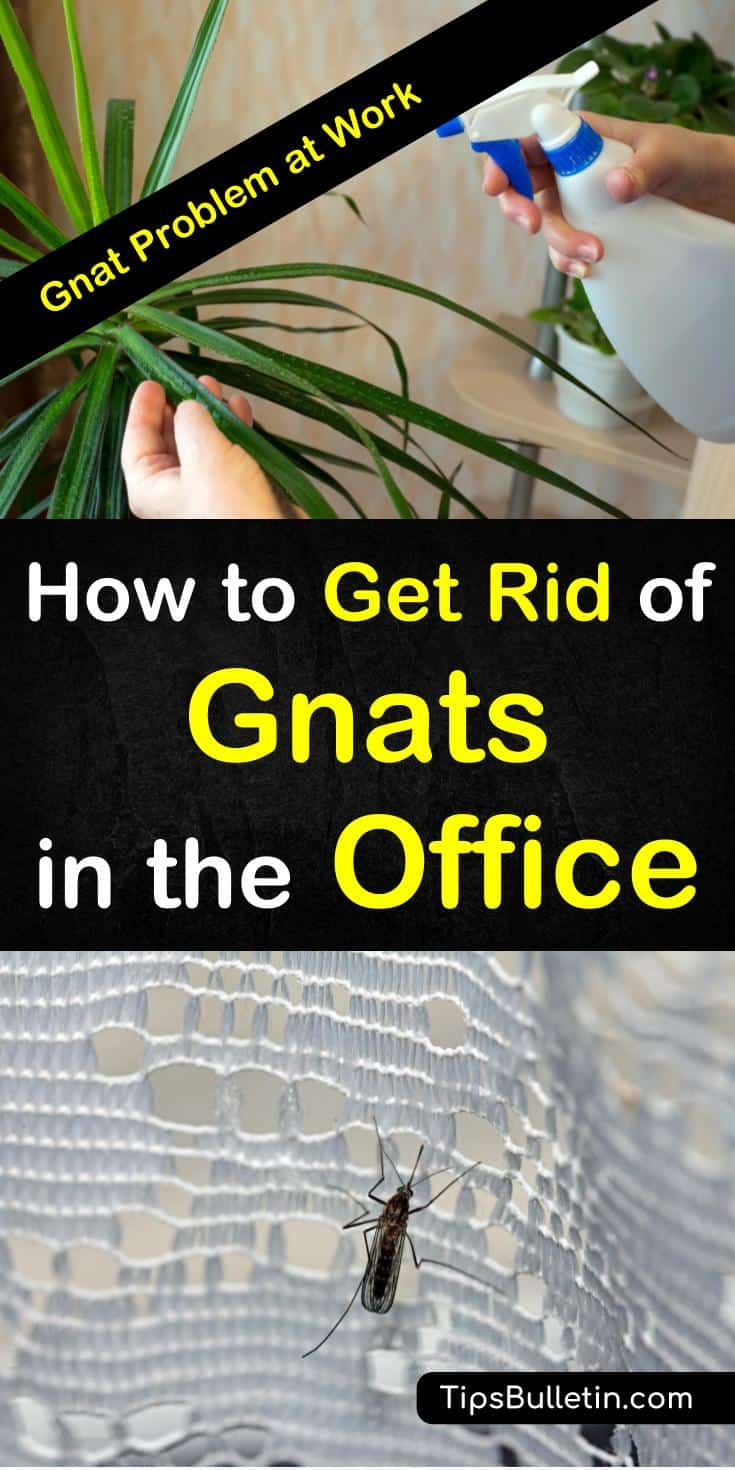 Learn how to get rid of gnats in the office building with easy pest control techniques. Quickly deal with infestations with everyday items and simple homemade gnat traps. Don't let gnats destroy your office plants, learn how to get rid of them for good. #gnatsoffice #gnats #office