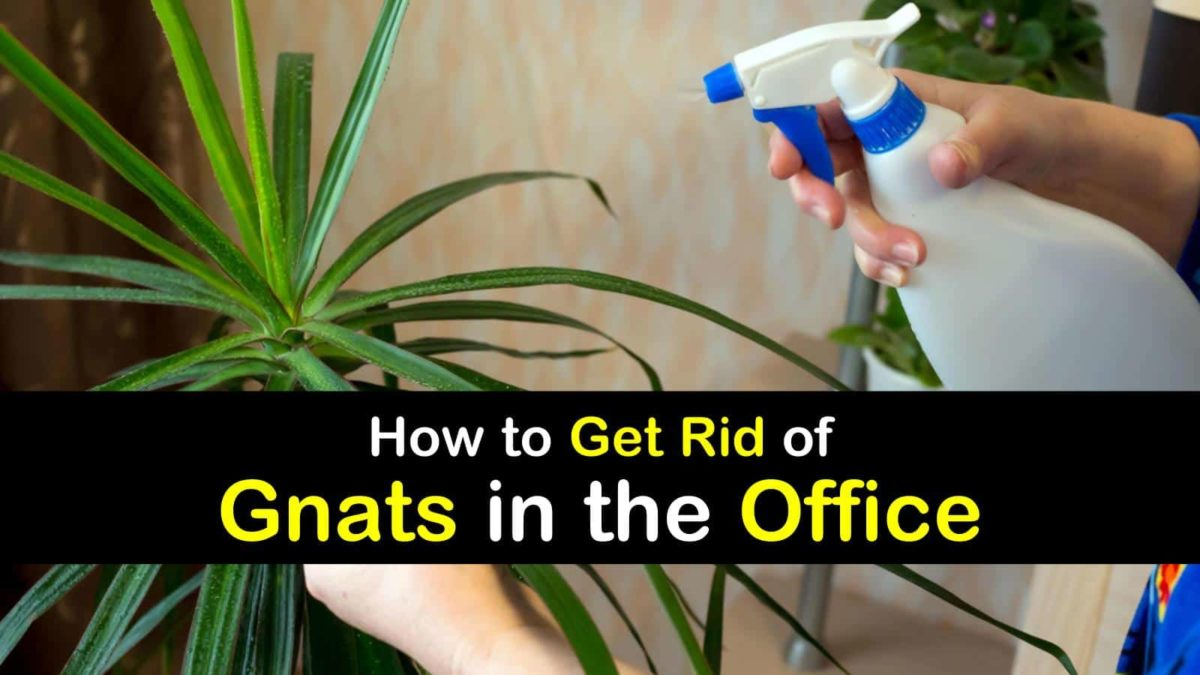 Get Rid Of Gnats In The Office