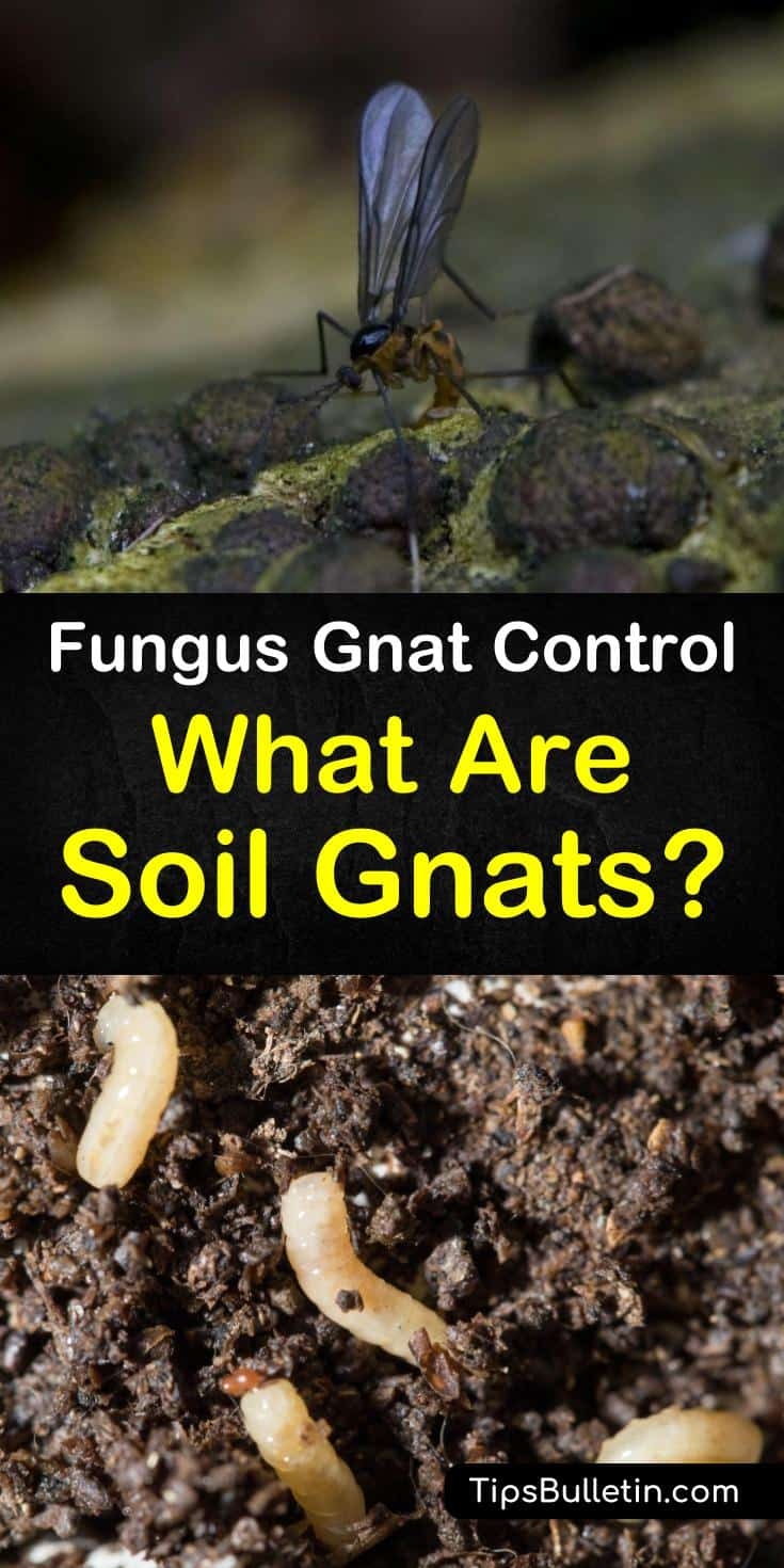 Discover how to get rid of fungus gnats and soil gnats from your houseplants. Learn how to use natural pest control methods to rid your house and garden of soil gnats and fruit flies. #soilgnats #getridofsoilgnats #soil #fungus #pestcontrol