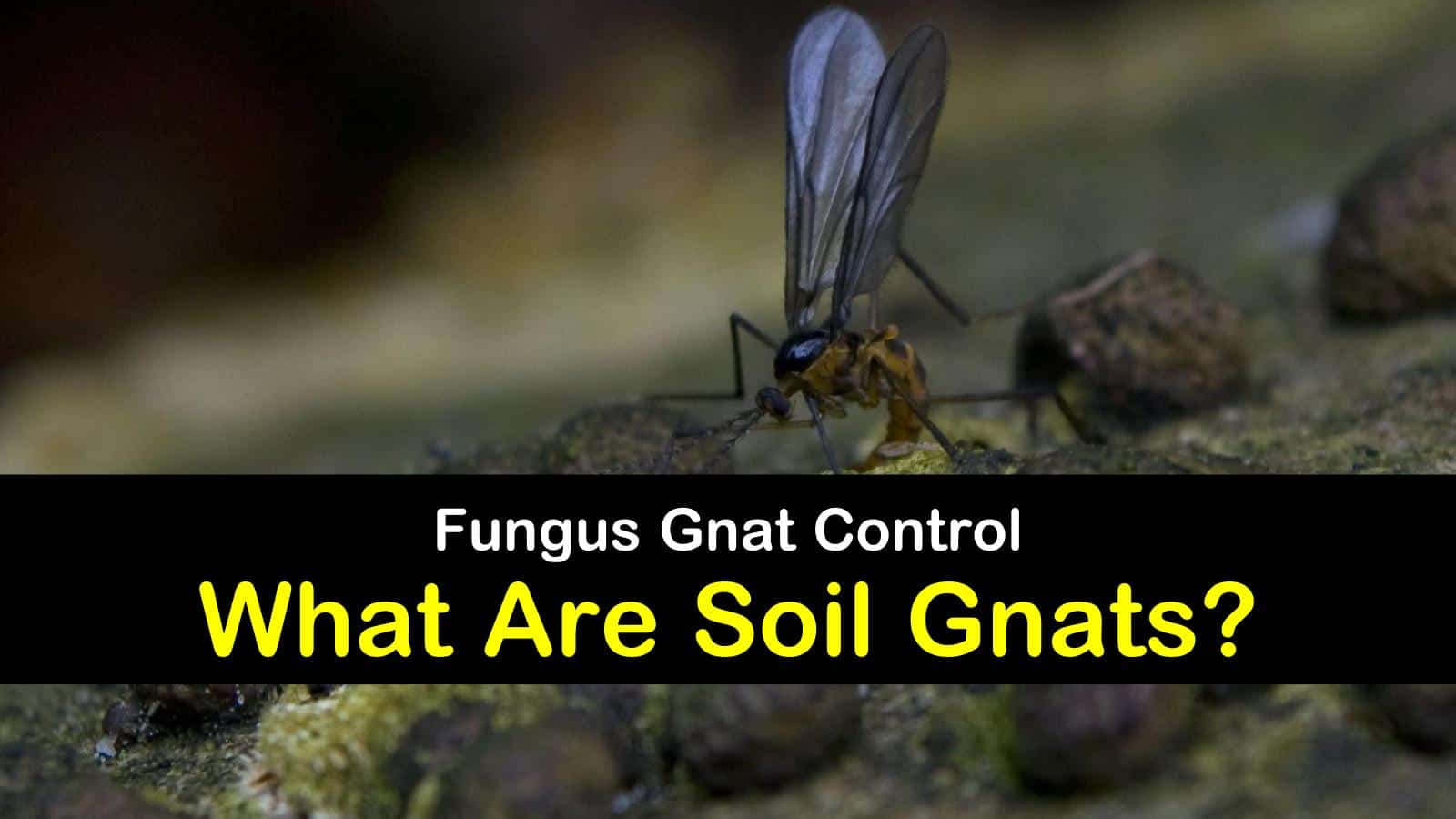 soil gnats titleimg1