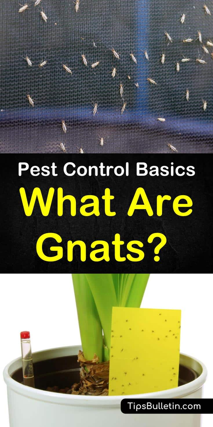 "Discover the answer to the question, ""What are Gnats?"" Learn how to tell the difference between fungus gnats and other flying insects like mosquitoes. Discover the best natural home remedies for dealing with gnats both indoor and outdoor. #whataregnats #gnatlifecycle #gnats"