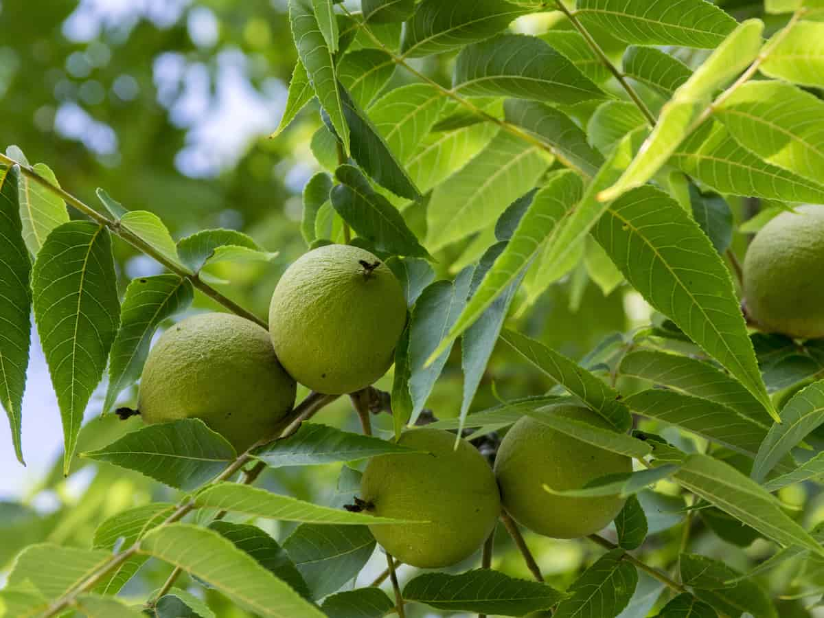 black walnut is a combative plant